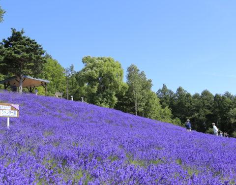 Lavender Field 01