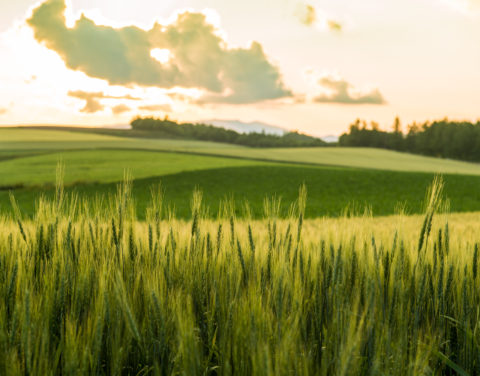 夏の大麦畑